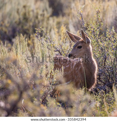 Mule Deer Fawn (Odocoileus hemionus) in the high desert of Bridgeport, California - stock photo