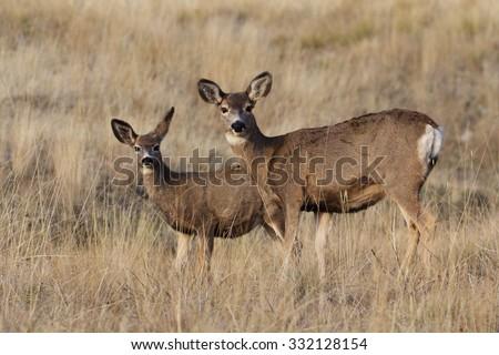 Mule Deer, Odocoileus hemionus,  Doe and yearling fawn standing alert in prairie grassland habitat  - stock photo