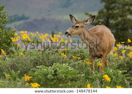 Mule Deer, Odocoileus hemionus, feeding in mountainous alpine habitat surrounded by wild sun flowers in the Pacific Northwest's Cascade Mountains Adult Mule Deer are vegetarians / vegans / herbivores - stock photo