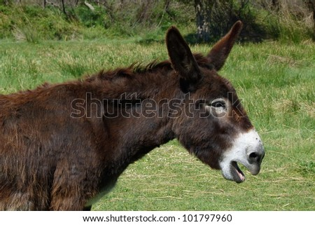 Mule with open mouth - stock photo