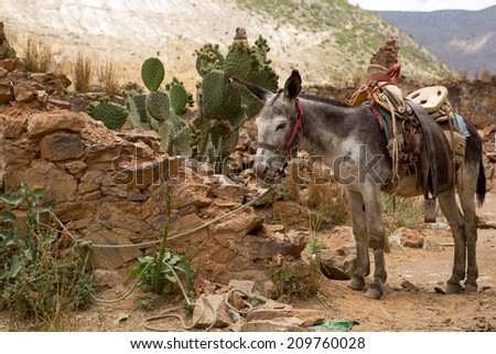 mule with saddle tied with  rope in abandoned town of Real de Catorce - stock photo
