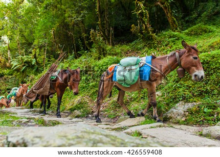 Mules carrying the baggage up the Mountains, Himalaya, Nepal - stock photo