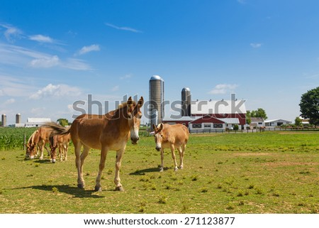 Mules in a pasture in Lancaster County Pennsylvania dutch country.