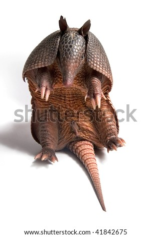 Mulita, Armadillo of six bands, on to white background. - stock photo