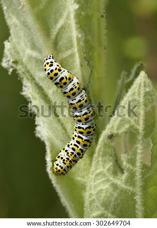 Mullein Moth Caterpillar - Cucullia verbasciLarvae on Mullein Leaf - stock photo