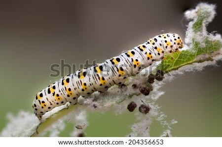 mullein moth caterpillar, feeding on a leaf