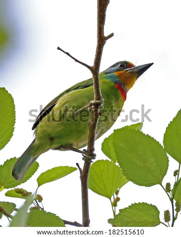 Muller's Barbet - stock photo