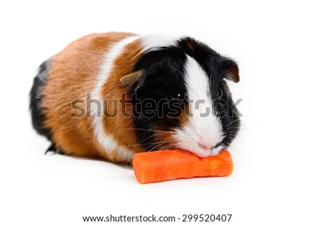 Multi-color tricolor guinea pig pet munching on / eating a carrot on white background