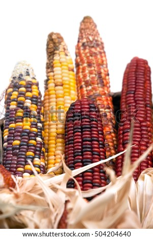 Multi-colored ears of dried corn on white background