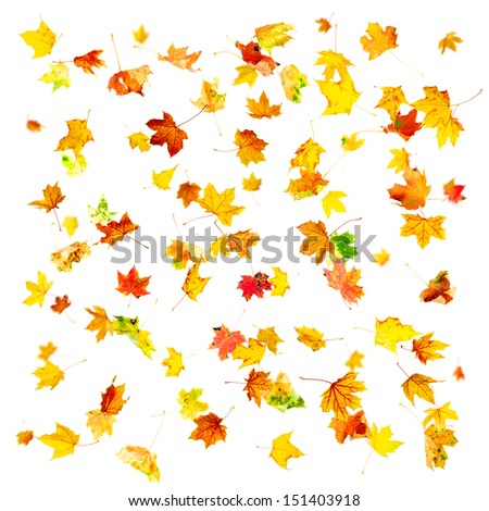 Multi colored falling autumn maple leaves isolated on white background - stock photo