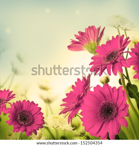 Multi-colored gerbera daisies on a white background - stock photo