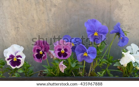 Multi Colored Pansy Flowers  - stock photo