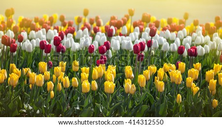 Multi-colored tulips in the sunlight - stock photo