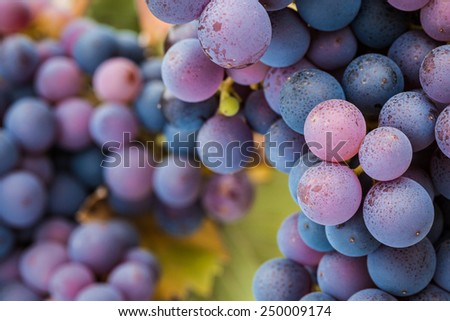 Multi-coloured Pinot Noir grapes, close-up macro image - stock photo