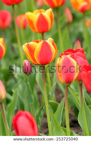 Multi coloured tulips and daffodils on nature background - stock photo