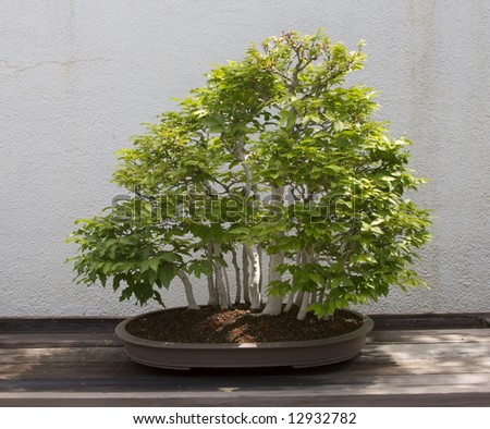 Multi Trunk Bonsai - stock photo