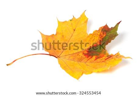 Multicolor autumn maple-leaf isolated on white background - stock photo