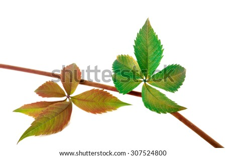 Multicolor autumn twig of grapes leaves, parthenocissus quinquefolia foliage. Isolated on white background. Selective focus.  - stock photo