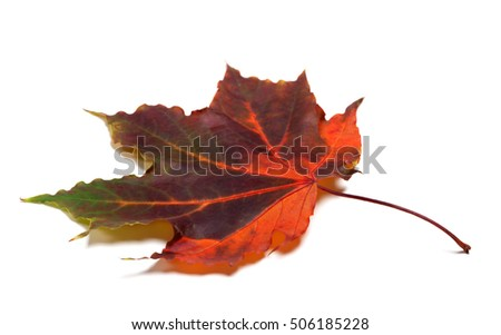 Multicolor autumnal maple-leaf isolated on white background