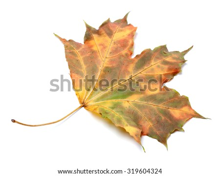 Multicolor autumnal maple-leaf. Isolated on white background. Backside view.