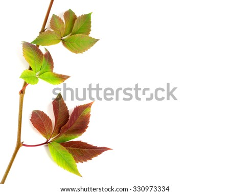 Multicolor autumnal twig of grapes leaves, parthenocissus quinquefolia foliage. Isolated on white background with copy space - stock photo