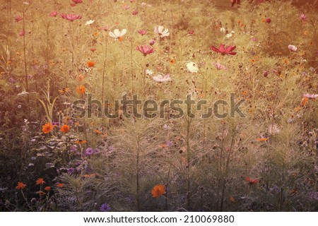 multicolor daisies flowers field and warm light, vintage dreamy  - stock photo