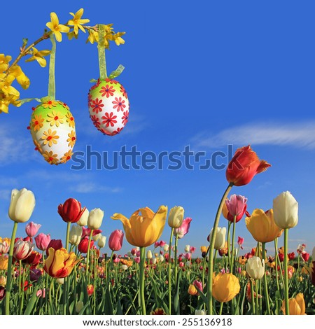 multicolor tulip field against blue sky, forsythia branch with easter eggs - stock photo