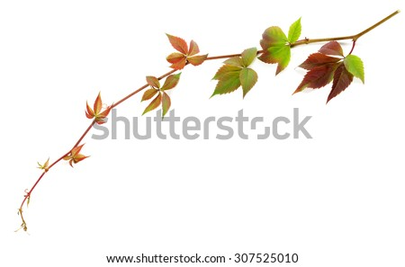 Multicolor twig of grapes leaves, parthenocissus quinquefolia foliage. Isolated on white background. - stock photo