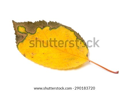 Multicolor yellowed autumn leaf. Isolated on white background - stock photo