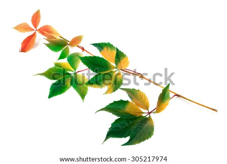 Multicolor yellowed twig of grapes leaves (Parthenocissus quinquefolia foliage). Isolated on white background. - stock photo