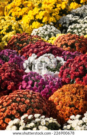 Multicolored background of blooming chrysanthemums - stock photo