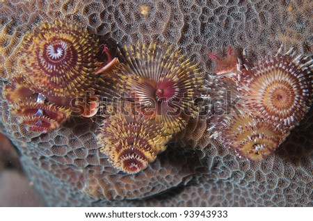 Multicolored Christmas Tree Worms