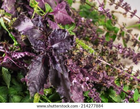 Multicolored herbs for food: mint, basil, oregano - stock photo