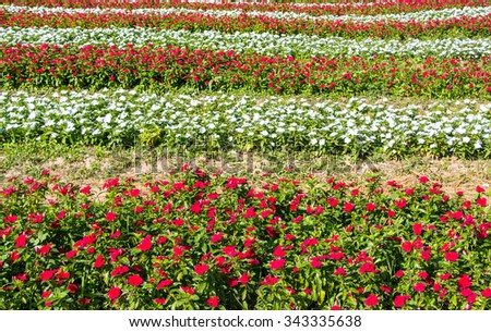 Multicolored impatiens plants blooming profusely in a garden - stock photo