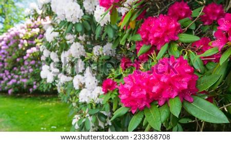 Multicolored rhododendron bushes - stock photo