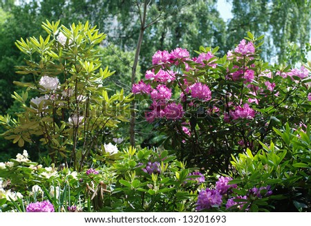 multicolored rhododendrons in a garden - stock photo
