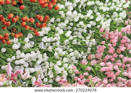 Multicolored tulip flowers decorated on the wall - stock photo