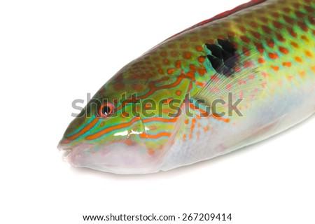Multicolorfin Rainbowfish-Halichoeres poecilopterus, on white background.  - stock photo