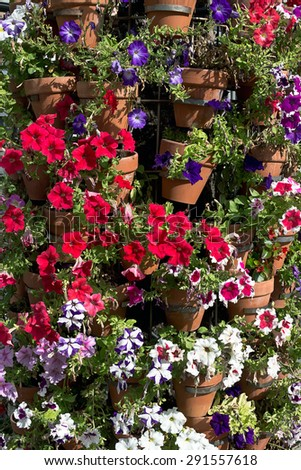 Multicoloured variety of Petunias in street floral arrangement . Many species of Petunia are also  popular in the home gardening - Shot taken in Cordoba Spain