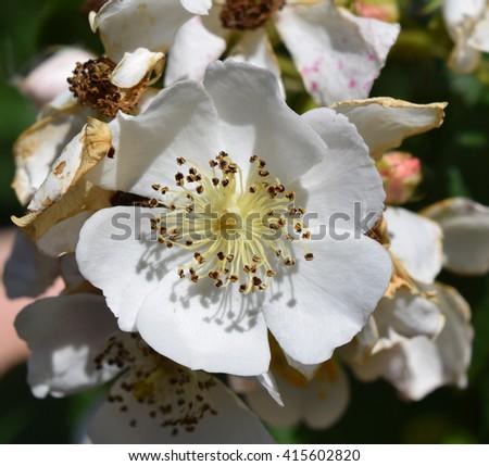 Multiflora rose flower in Mississippi - stock photo