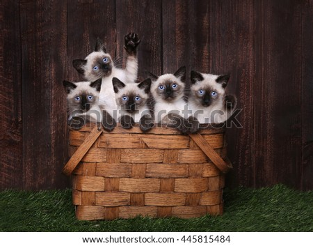Multiple Adorable Siamese Kittens in A Basket - stock photo