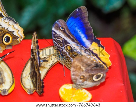 Multiple butterflies feeding on sliced fruit in a feeder. Blue Morpho and Owl Butterfly