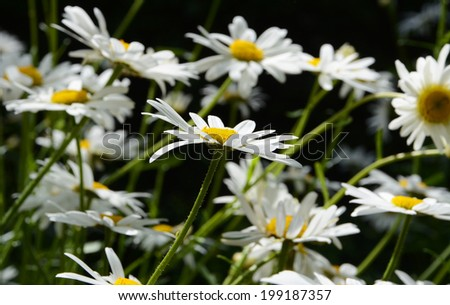 Multiple daisies, with one daisy flower in selective focus