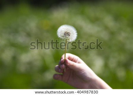Multiple dandelions on the meadow - stock photo