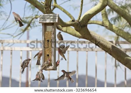 Multiple finches flying around bird feeder - stock photo