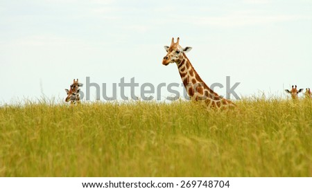 Multiple Giraffes poking their heads up out of the long savannah grasses. - stock photo