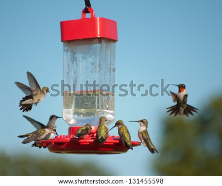 Multiple Hummingbirds at feeder, some eating nectar, some hovering waiting their turn - stock photo