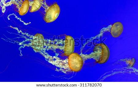 Multiple orange nettle jellyfish with blue background - stock photo