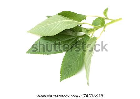 Mulukhiya - stock photo