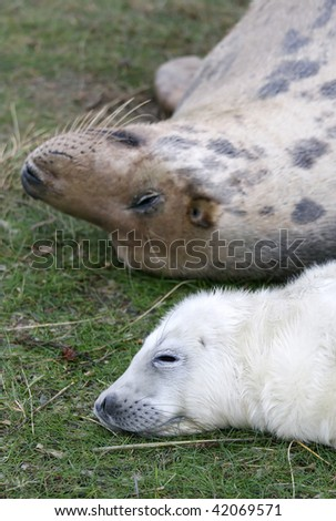 Mum and baby grey seal in donna nook, uk